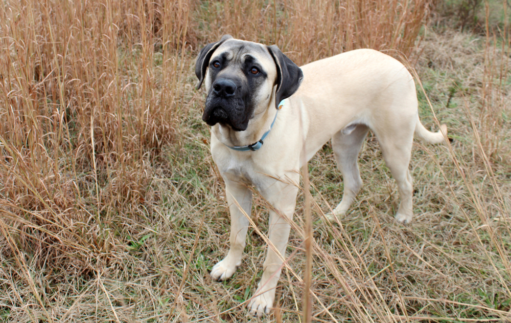 My English Mastiff furbaby, Falkor